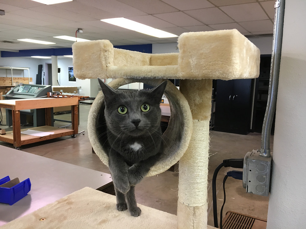 Rylee the Original Copy Cat sitting on cat tree at Digital Blueprint Copy Shop