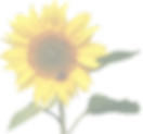 sunflower-1385990_640_edited.png