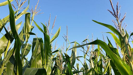 cornfield-2685412_1920.jpg