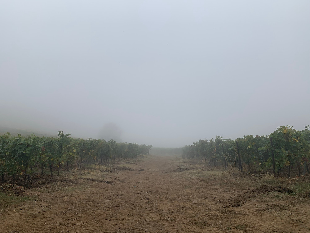 The foggy vineyards of Dealu Mare