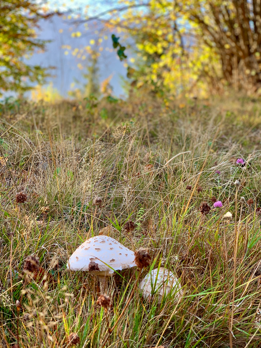Delicious Parasol Mushrooms