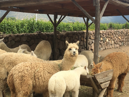 Poo tea and Alpacas: Discovering Biodynamic Wine in Casablanca Valley, Chile