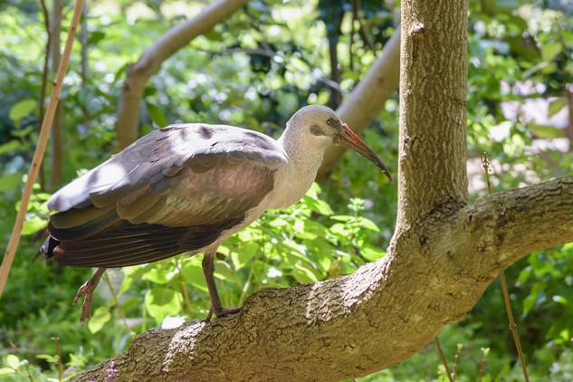 Hadeda ibis, Kirstenbosch Botanical Garden, South Africa