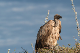 Vulture on the look-out for prey, Etosha National Park, Namibia
