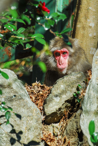 Japanese macaque near Minoh Falls, Japan