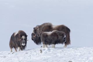 Muskoxen family, Dovrefjell National Park, Norway