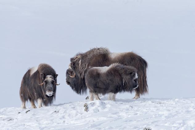 Muskoxen family, Dovrefjell National Park, Norway