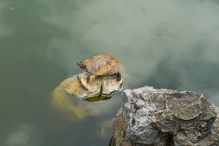 Red-eared slider resting on a rock, Yunnan Province, China
