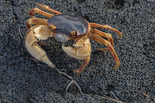 Land crab on a volcanic beach, Île de la Réunion