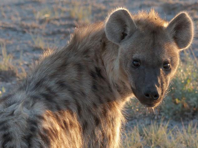 Spotted hyena, Etosha National Park, Namibia