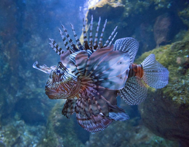 Lionfish, Saint-Gilles les Bains Aquarium, Île de la Réunion