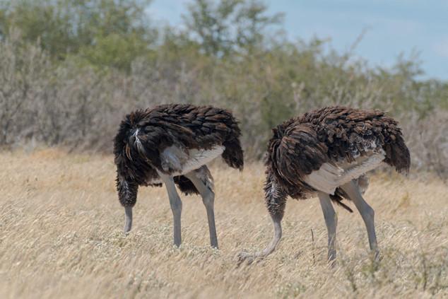 Ostrich family, Etosha National Park, Namibia