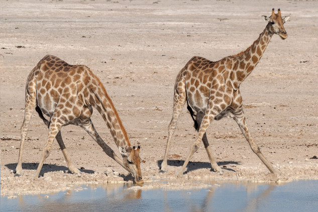 Giraffes at a waterhole, Etosha National Park, Namibia
