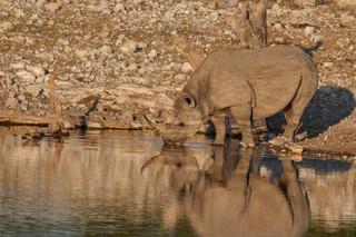 Black Rhino drinking, Etosha National Park, Namibia