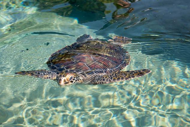 Sea turtle at Kelonia Observatory, Saint-Leu, Île de la Réunion