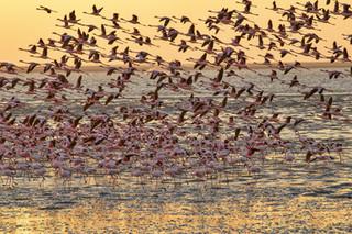 Pink flamingos colony, Walvis Bay, Namibia