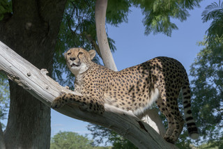 On the watch, Cheetah Conservation Fund, Namibia