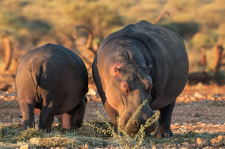 Hippos grazing, Erindi Private Game Reserve, Namibia