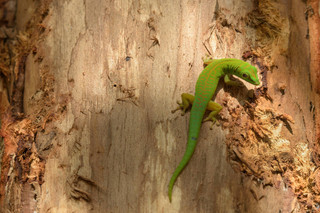 Gecko on a cinnamon tree, Fond Ferdinand, Seychelles