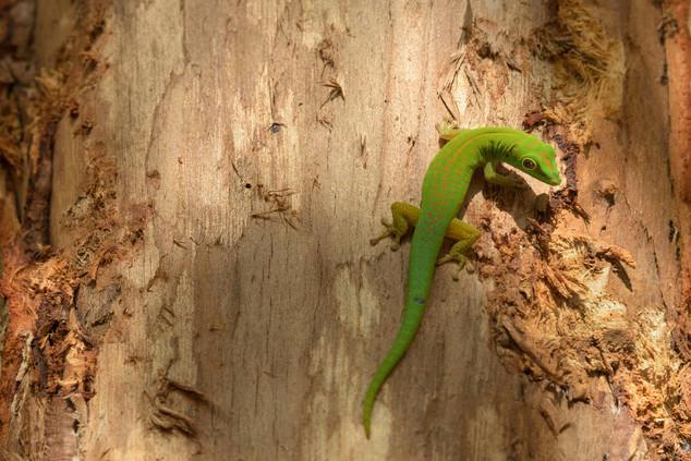 Gecko on a cinnamon tree, Fond Ferdinand, Seychelles