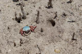 Blue Fiddler crab in the mangrove, Seychelles