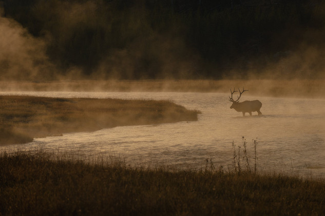Stag crossing Madison river, Yellowstone National Park, USA