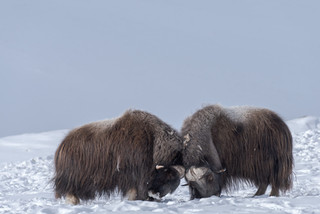 Male muskoxen fighting, Dovrefjell National Park, Norway