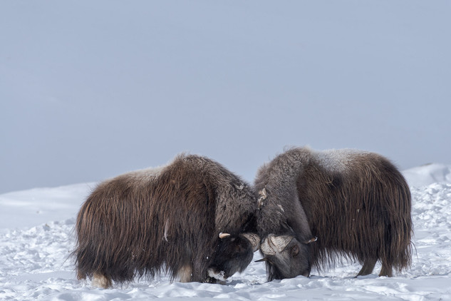 Male muskoxen fighting, Dovrefjell National Park, Norway
