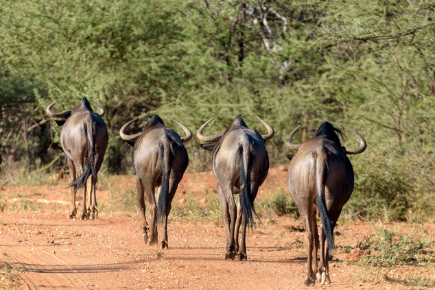 Gnu walking, Etosha National Park, Namibia