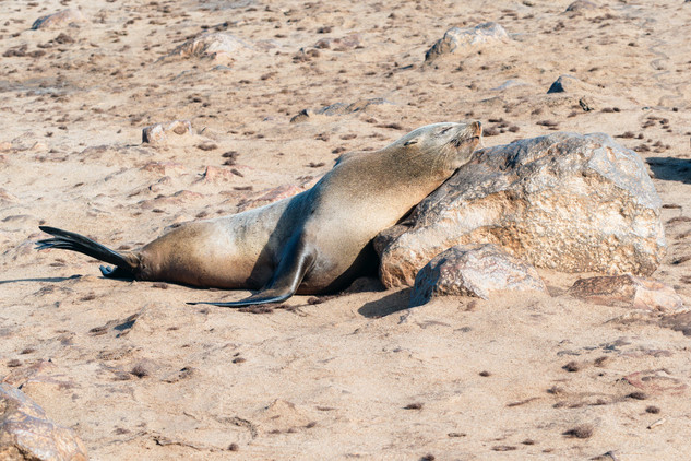 Sleeping Seal, Cape Cross, Namibia