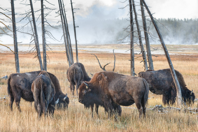 Bisons grazing in Lower Geyser Basin, Yellowstone National Park, USA