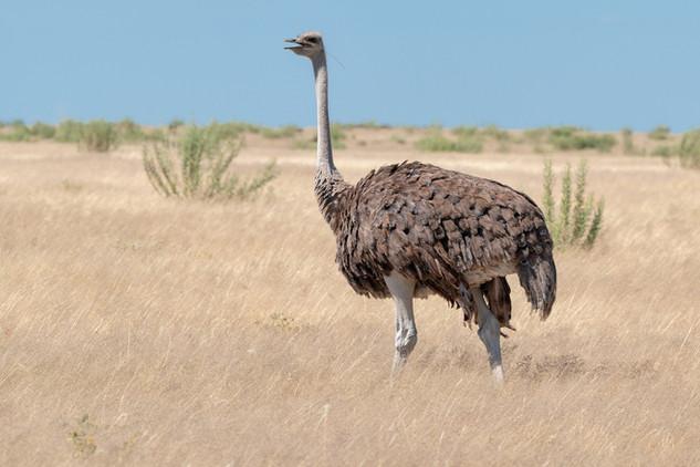 Lone ostrich, Etosha National Park, Namibia