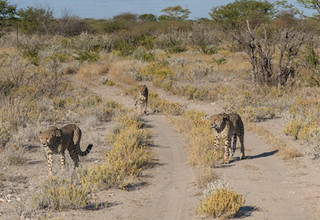 Looking for food, Cheetah Conservation Fund, Namibia