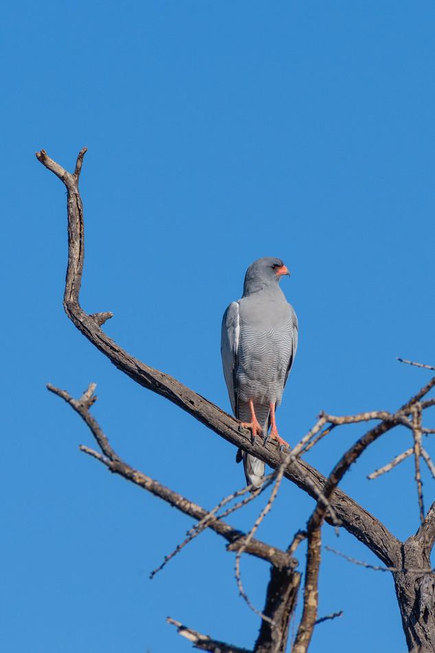 Pale chanting goshawk, Etosha National Park, Namibia