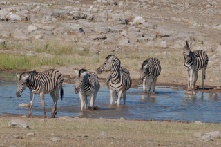 Zebras at the waterhole, Etosha National Park, Namibia