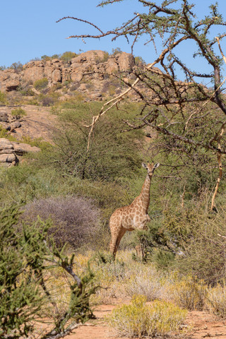 Lone giraffe near Ameib Ranch, Namibia
