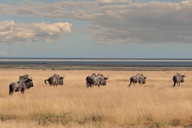 Gnu crossing savanna, Etosha National Park, Namibia