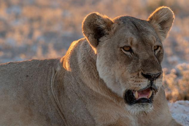 Lazy lioness, Etosha National Park, Namibia