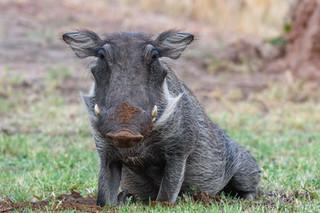 Greedy warthog, Waterberg Plateau, Namibia