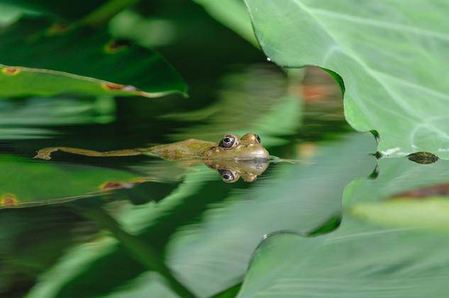 Frog among water lilies, Jardin des Martels, France