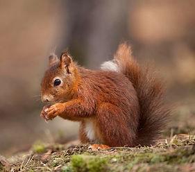 Red%20Squirrel_edited.jpg