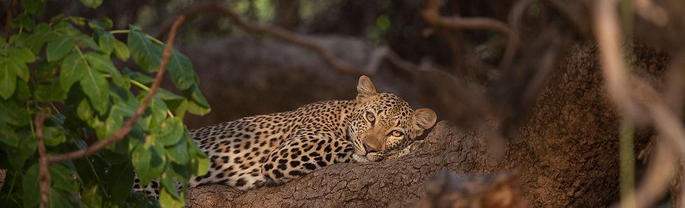 LeopardBanner.jpg