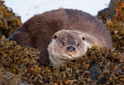 OtterMaleResting.jpg