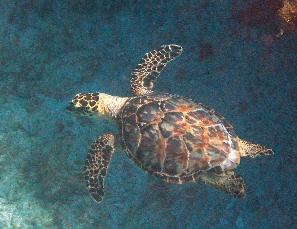Hawksbill-Turtle---girl.jpg