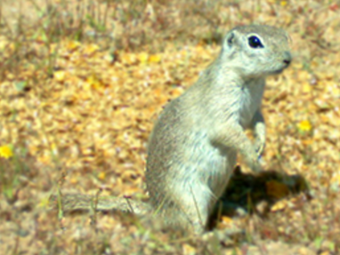 Spotlight: Mohave Ground Squirrel Surveys, Naval Air Weapons Station China Lake