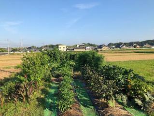 今朝の愛菜農園杉本圃場