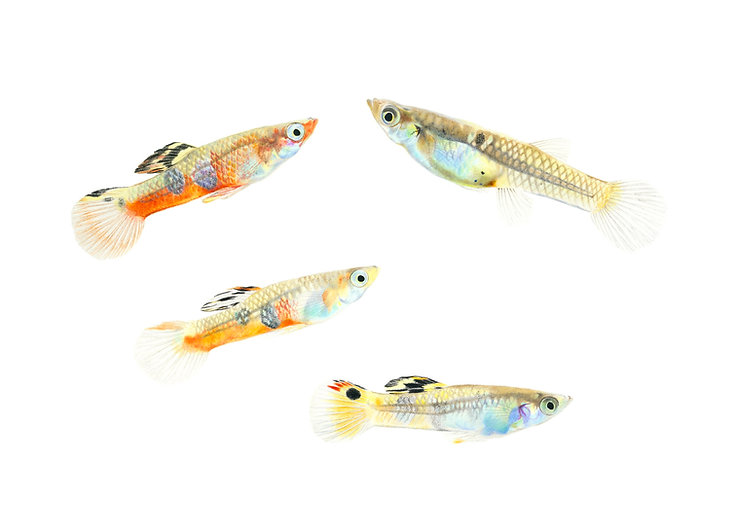 Drawing of Poecilia picta fish. Three males with different amounts of orange and a female with no or