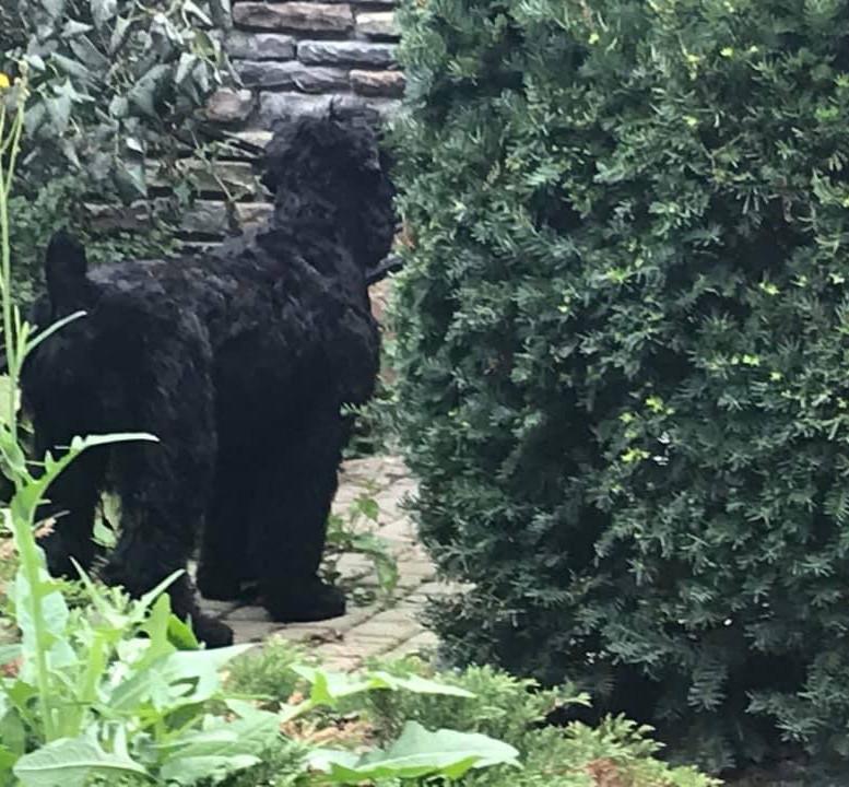 Black_russian_terrier_Bonnie.jpg