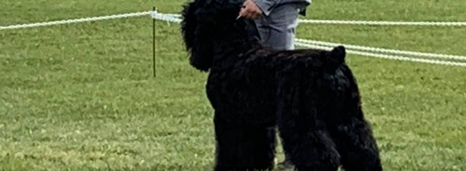 Black Russian Terrier Show Grooming