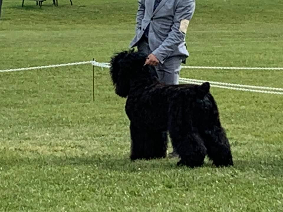 Black Russian Terrier Show Grooming